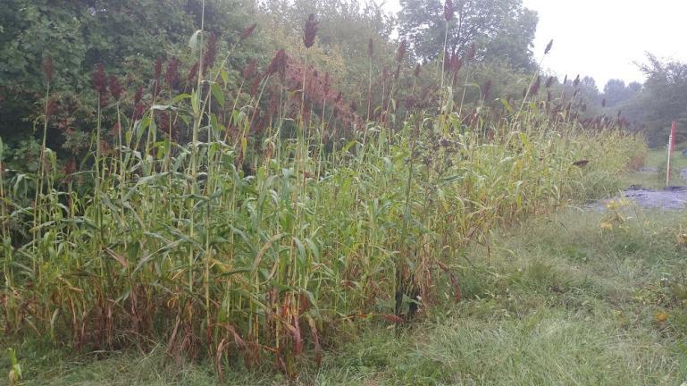 Harvestable Sorghum 9-22-18