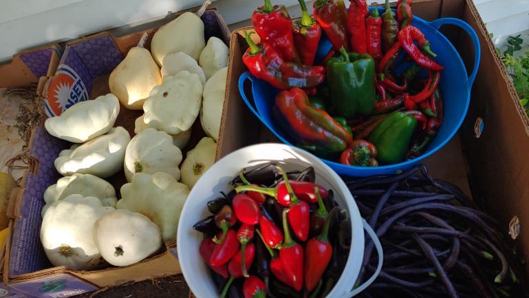 Still harvesting Patty Pan, Jalapeño, Marconi Rossa, Jimmy Nardello and Long Purple Beans 9-25-219-25-21