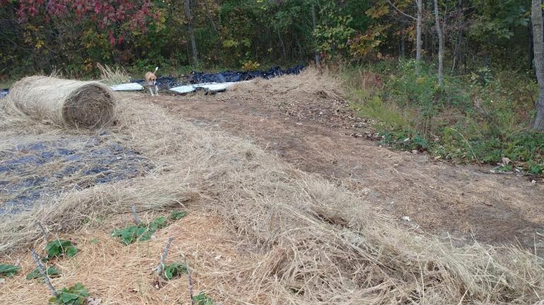 Elephant Garlic planted underneath the row of fresh hay 10-25-19