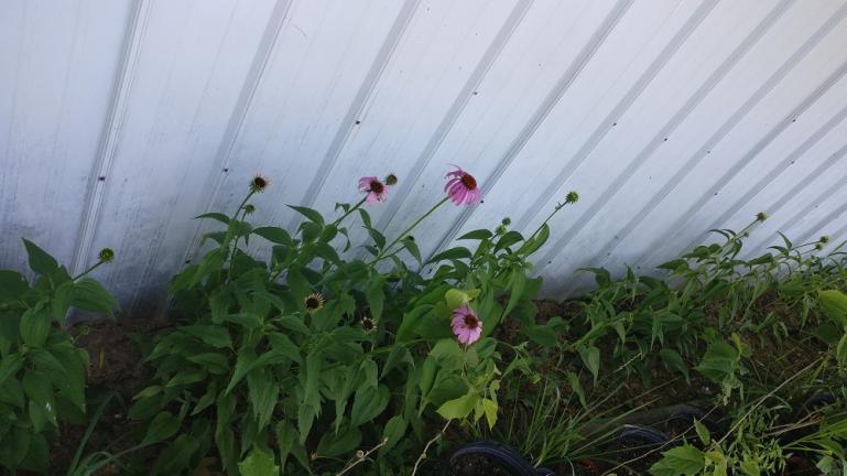 Echinacea transplants in June'18