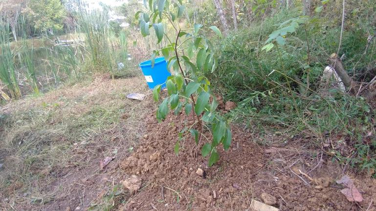 We brought 2 Elderberry trees with us from WV, planted 1 on each side of the pond shortly after arriving.  They both are doing well and this summer we discovered a large patch of Elderberry trees along the driveway.  Apparently they had been getting mowed down regularly.