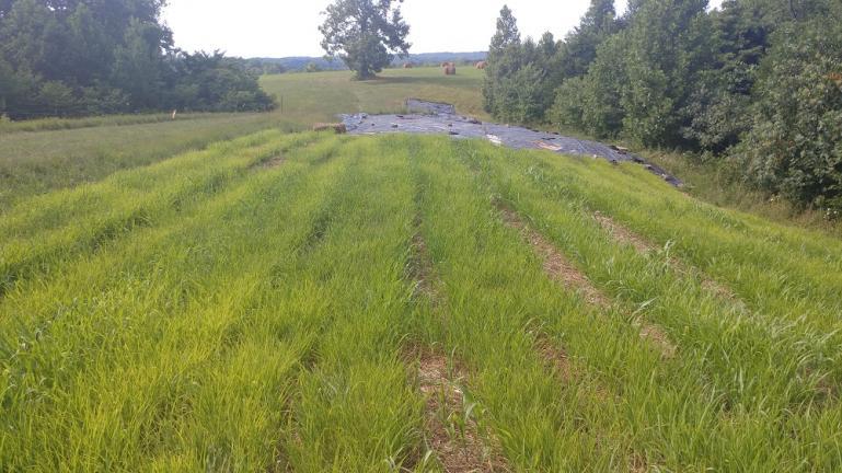 Super Soaked Sorghum Field 7/18/18