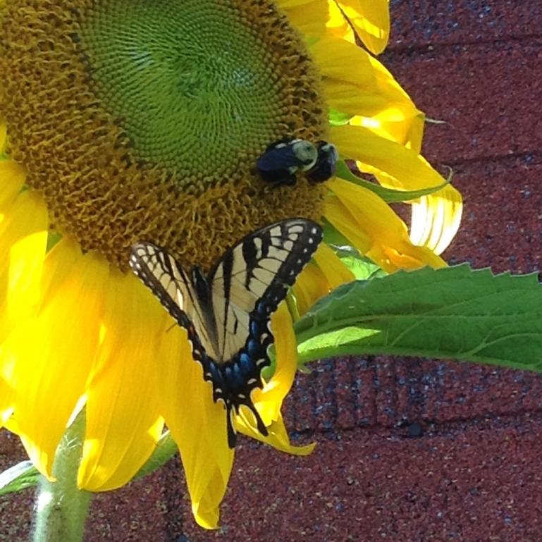 pollinators at work on my sunflowers