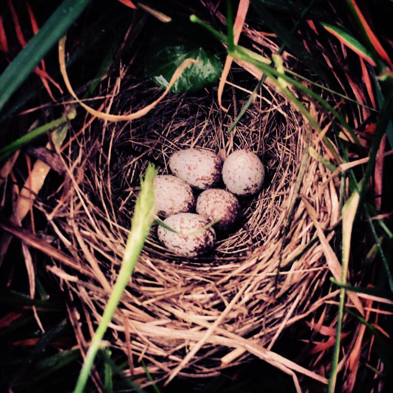 nest in the hillside where i was trying to establish chamomille stands