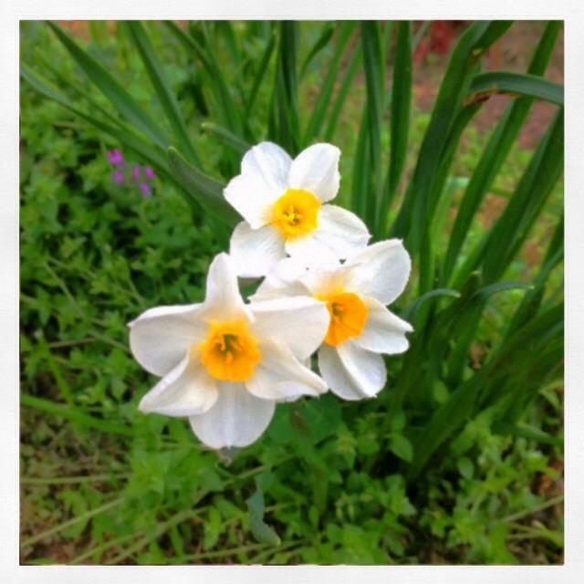 bea's jonquils have sprung up this year
