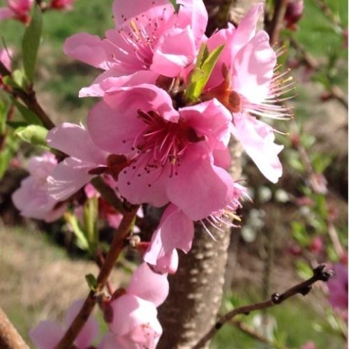 4.2.16 nectarine in bloom. hope the fruit is set and the freeze doesn't rob us of it.