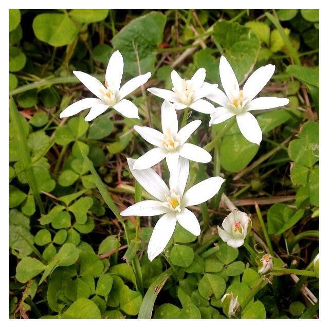 new 'star of bethlehem' flowers from bea manifesting where the old apple tree stood