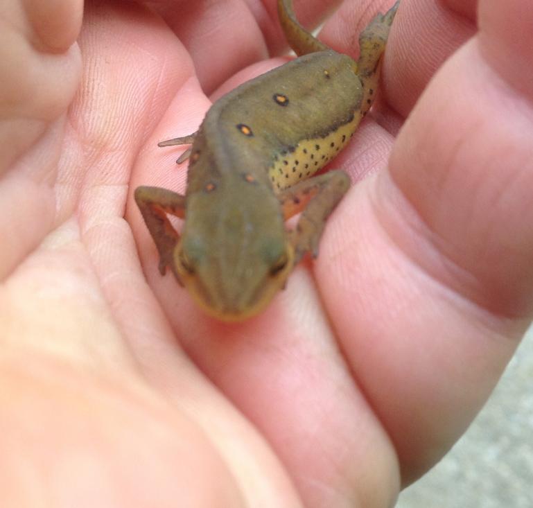 salamander waking up, found as i dug in the perennial garden