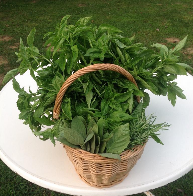 sweet basil and herbs all summer long
