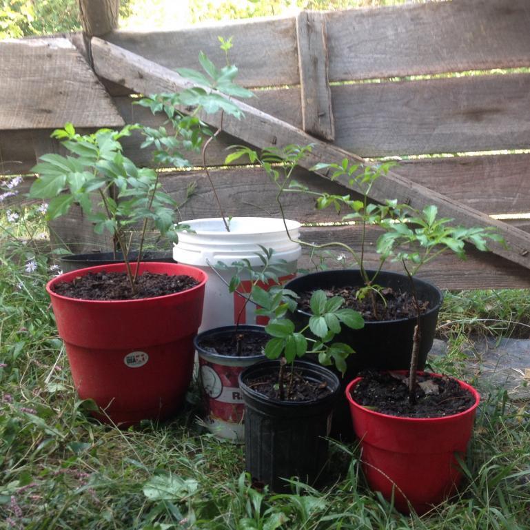elderberry starts in early fall
