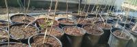1 gallon Elderberry Trees 1-2ft tall  4-2-20