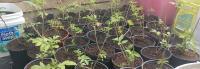 1 gallon Elderberry Trees 1-2ft tall  4-23-20