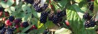 Wild Himalayan Blackberries