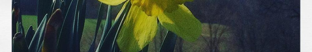 bea's daffodils are bloomin'