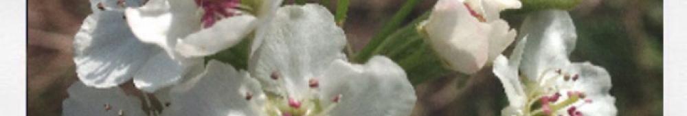 fiji apple blooms