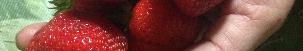 luscious strawberries harvested in june