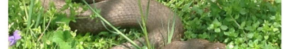 northern water snake couple in courtship dance beneath the forsythia