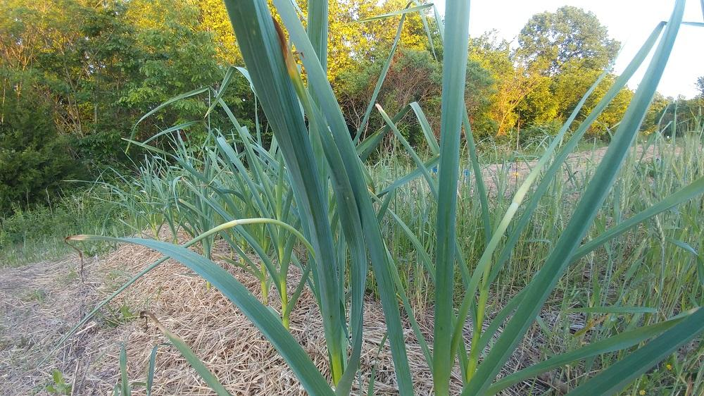 Young Garlic Scapes