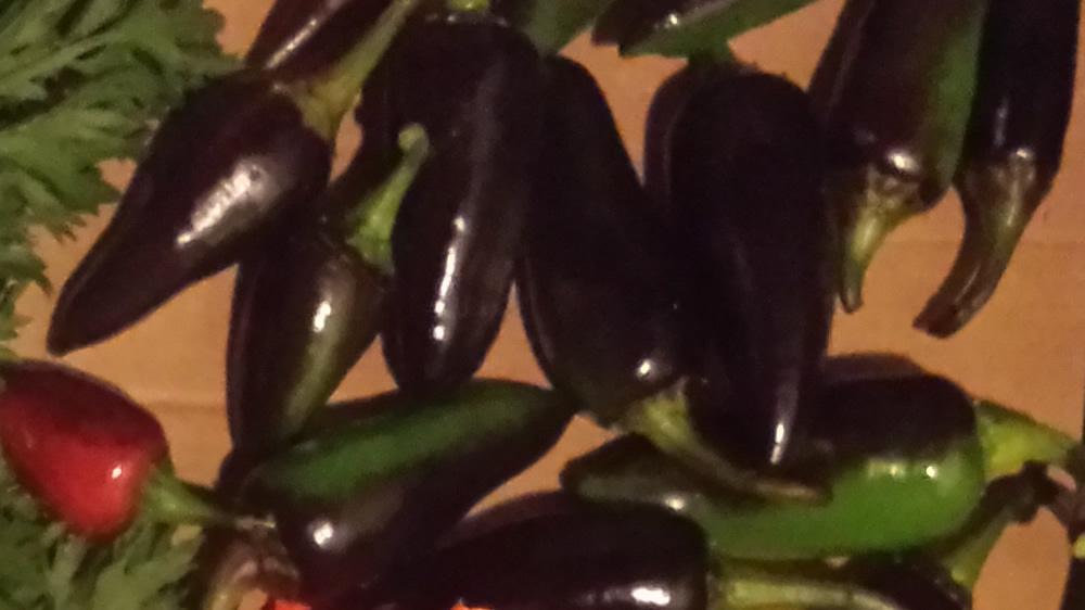 Purple Jalepeno Peppers
