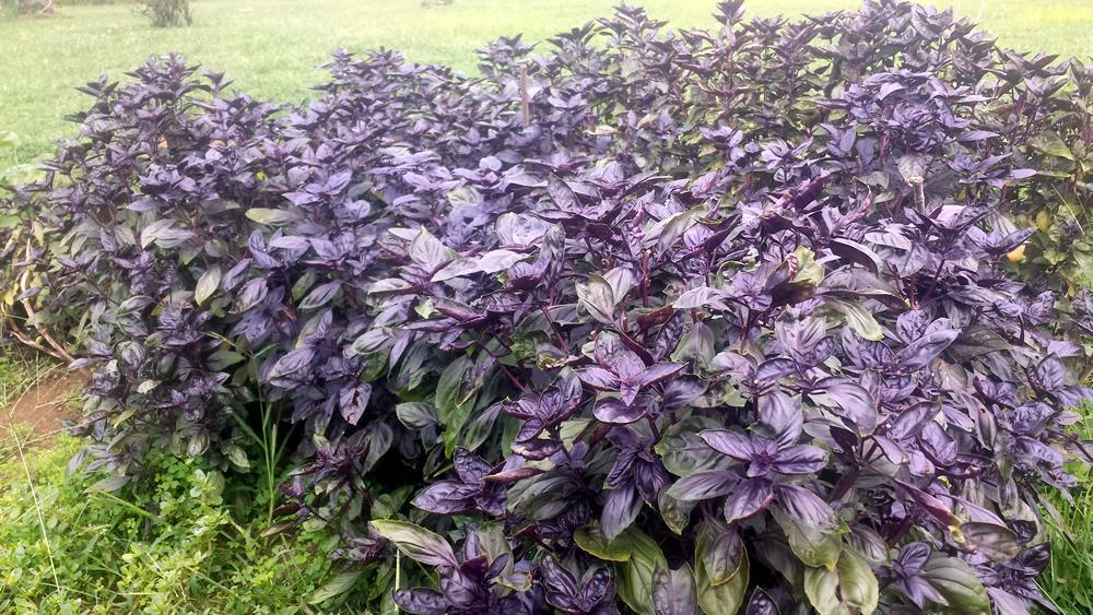 Purple Genovese Basil